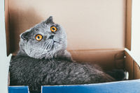 Grey Scottish fold cat sitting in blue shoe box and looks up. Cats are usually very curious and climb into boxes