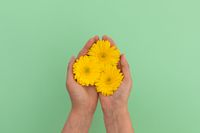 Person holding three yellow gerbera flowers lying on green background