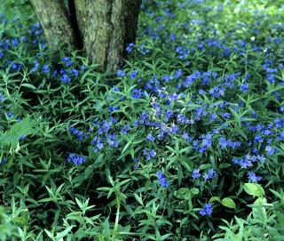 Steinsame, Lithospermum