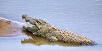 Nilkrokodil im South Luangwa Nationalpark, Sambia, (Crocodylus niloticus) |  nile crocodile at South Luangwa National Park, Zambia, (Crocodylus niloticus)