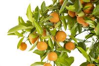 Reife Orangen an einem Orangenbäumchen