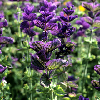 Buntschopfsalbei; Salvia viridis;