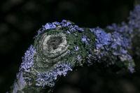 Lichen In uv