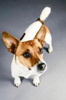 Jack Russell Terrier Portrait