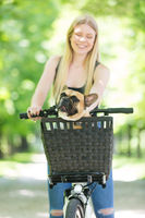 French bulldog dog enjoying riding in bycicle basket in city park