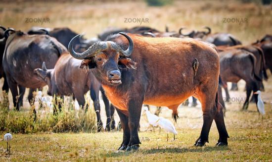 Afrikanische Büffel im Murchison Falls Nationalpark Uganda (Syncerus caffer) | African buffalo, Murchison Falls National Park Uganda (Syncerus caffer)