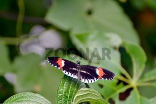 Postman Butterfly (heliconius melpomene) resting on a leaf
