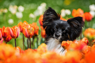 Papillon dog sitting in tulip flowers