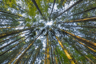Look into the treetops of a coniferous forest