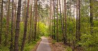 Asphalt forest road for walking.