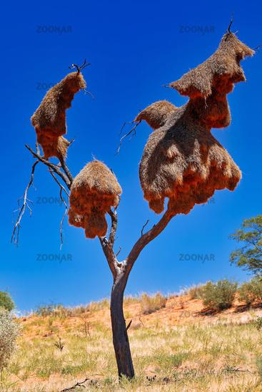 Webervogel-Nester, Kgalagadi-Transfrontier-Nationalpark, Südafrika | weaver bird nests, Kgalagadi Transfrontier National Park, South Africa