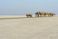 Dromedar-Karawane transportiert Steinsalzplatten (Halite) über den Assale Salzsee (Lake Assale)