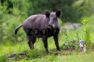 Dangerous wild boar looking into camera on a glade in Low Tatras national park