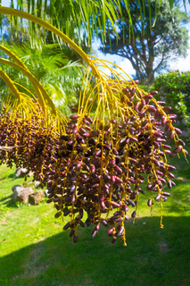 Costa Rica palm dates