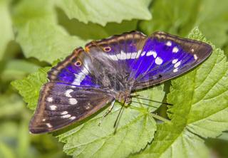 Großer Schillerfalter 'Apatura iris'