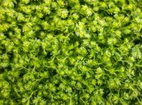 meadow spikemoss closeup