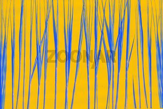 Blue stalks of grass or cane on an orange background. Creative background with phantom blue.