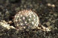 Escobaria vivipara Fremont Co Col 1616m JRT1112