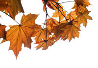 Branch of maple tree with autumn maple-leafs isolated on white background