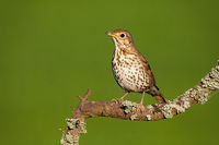 Song thrush sitting on branch in summertime nature.