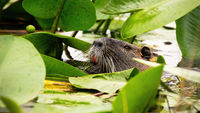 Eurasian beaver floating in water and head peeking out among waterlilies