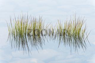 Grashalme spiegeln sich in einem See, Dundret Naturreservat, Gaellivare, Lappland