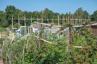 Dutch allotment garden with raspberries, bean stakes and shed