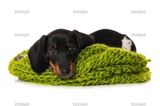 Miniature piebald dachshund lying on a scarf