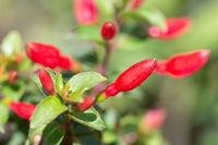 Red Fuchsia flowers at shallow depth background