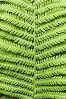 Close-up of a fern leave - pattern