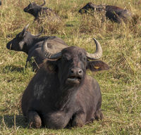 Wasserbüffel (Bubalus arnee), wiederkäuend