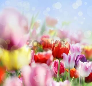 tulpenblüte
