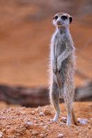 Erdmännchen, Kgalagadi-Transfrontier-Nationalpark, Südafrika, (Suricata suricatta) | Meerkat, Kgalagadi Transfrontier National Park, South Africa, (Suricata suricatta)