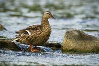 Alert female mallard standing on a rock in stream with water flowing around