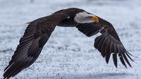 Ein Weißkopfseeadler fliegt in der Seitenansicht tief über eine verschneite Wiese