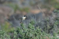 Canary Islands stonechat Saxicola dacotiae on a shrub.