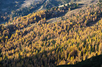 Sunny colorful autumn alpine mountain larch and fir forest scene.