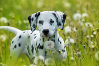 Dalmatian puppy in a dandelion meadow