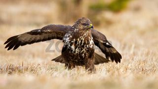 Common buzzard landing on meadow in autumn nature.