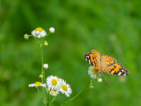 Painted lady butterfly on a clover flowers