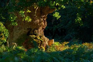 Urwald Sababurg in Hessen zur Sommerzeit