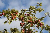 Äpfel auf einem Apfelbaum