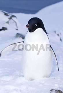 Adelie penguin standing in the snow with its wing up