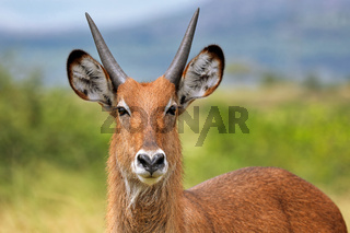 Defassa-Wasserbock im Queen Elizabeth Nationalpark Uganda (Kobus defassa)