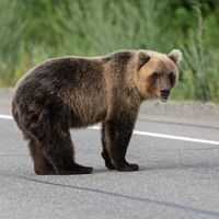 Wild hungry Kamchatka brown bear standing on asphalt road