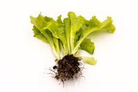Shots of fresh lettuce with roots,