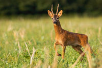 Dominant roe deer buck standing on stubble field in summer nature.