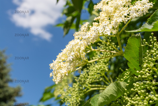 Close up side view of blooming white hydrangeas