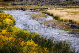 Common Bulrush (Typha latifolia) along the Yellowstone River