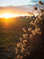Wild grapewine branch at sunrise in lower austria